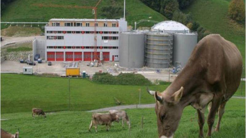 COW-MATURE.jpg